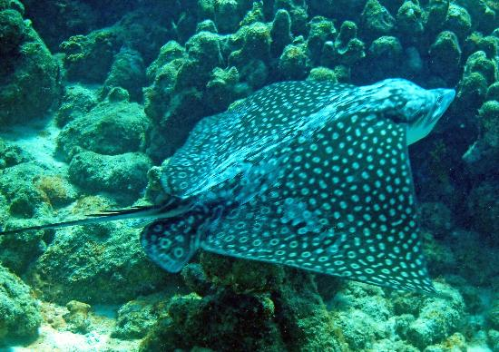 Divi Flamingo Beach Resort and Casino: Spotted Eagle Ray