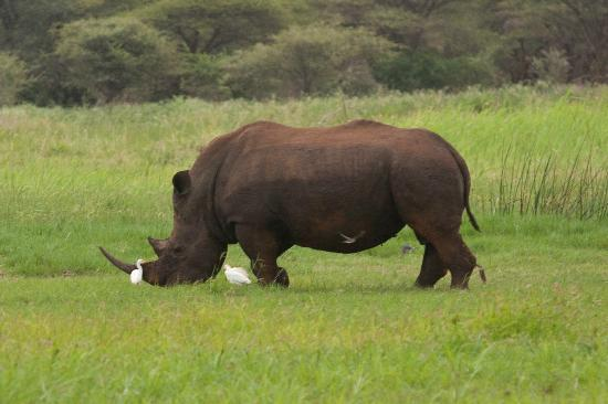 Shayamoya Tiger Fishing & Game Lodge: White Rhinoceros on the shore