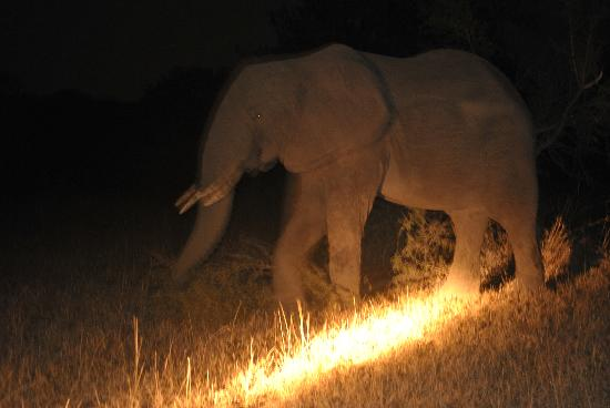 Tydon Safari Camp: Elephant during a night drive