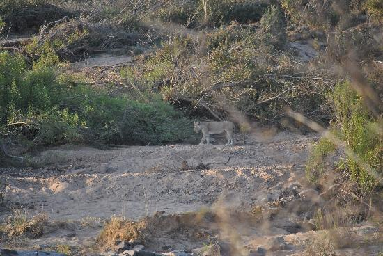 Tydon Safari Camp: Lioness with cubs-fourth of the big five