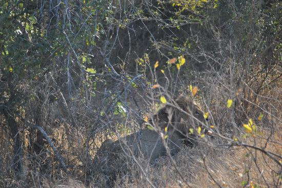 Tydon Safari Camp: Can you spot him-Lion-Fifth of the big five!