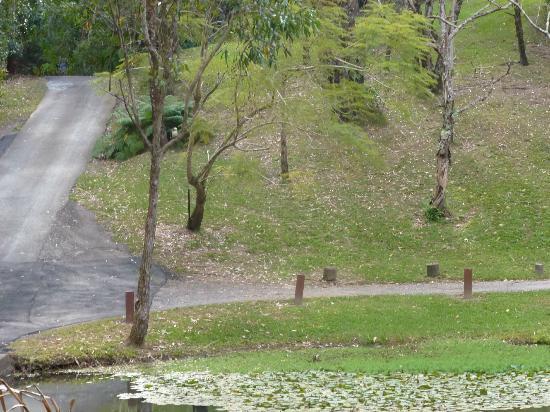 Kondalilla Eco Resort: Kookaburra