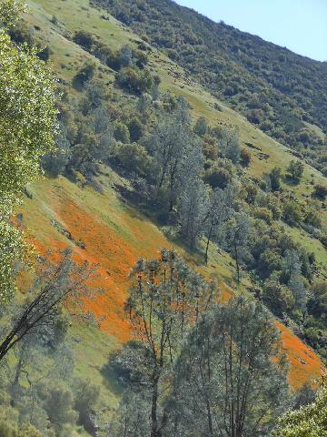 California Poppies on the hillside on Route 140