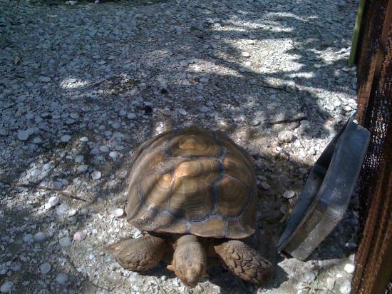 Ibis Bay Beach Resort: Schildkroete beim Spaziergang