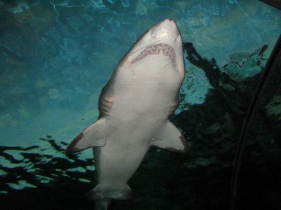 Ripleys Aquarium Shark Swimming Over Your Head