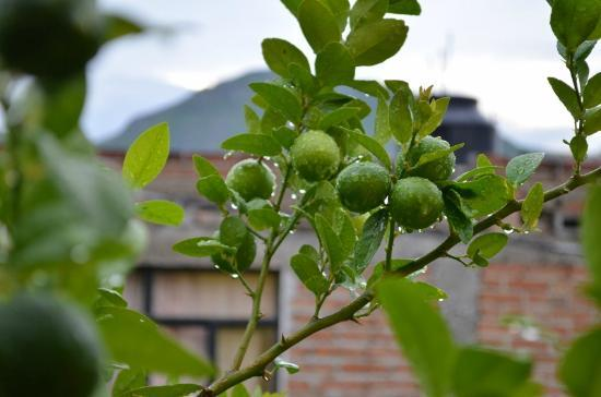 La Casa de Dona Ana : Limes within reach from front window