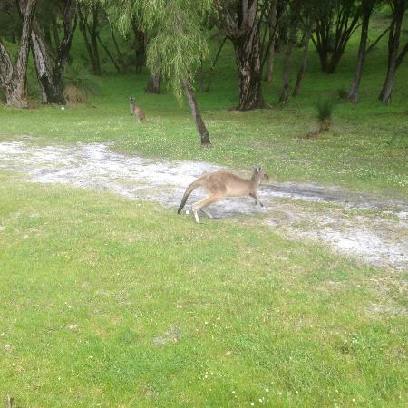 Margaret River Golf Club: Kangaroos everywhere