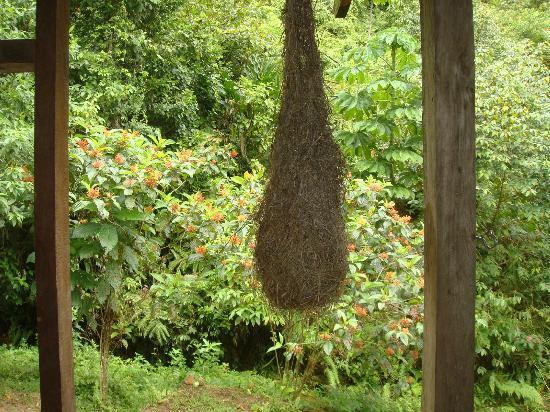 Rambala, Panama: Local Birds Nest