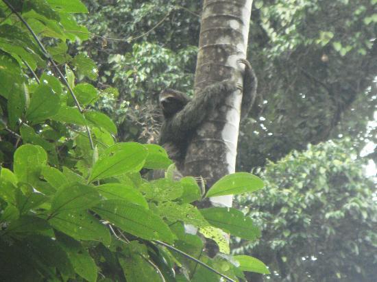 Rambala, Panamá: Sloth