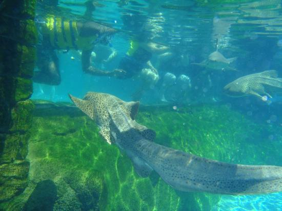 Leopard Shark Picture Of Discovery Cove Orlando