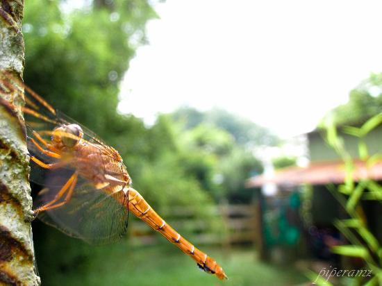 Pereira, Colombia: Libélula silvestre