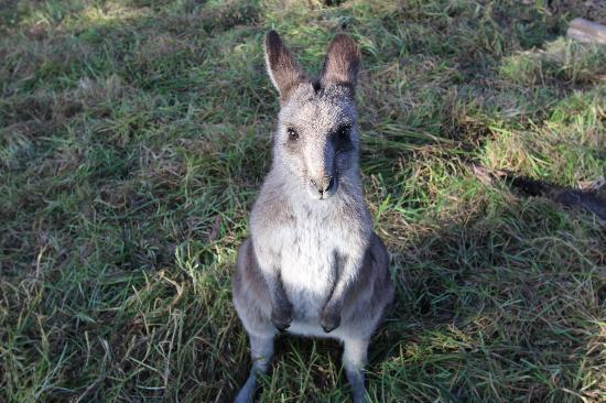 Potoroo Palace : Cute kangaroo