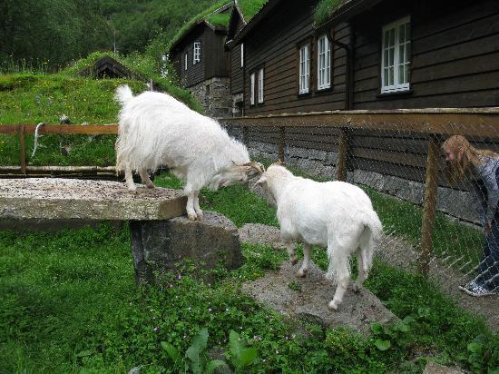 Byrkjedalstunet Hotel: goats
