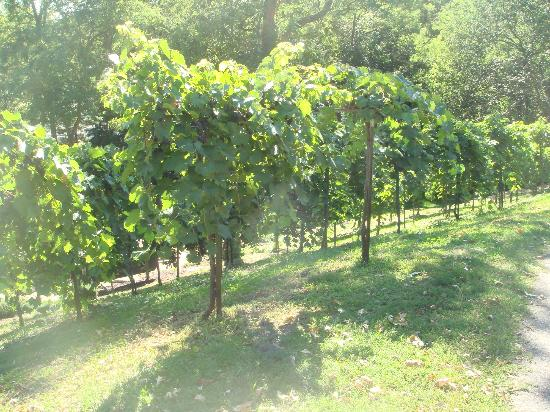 Wollersheim Winery: Grapes on the south slope