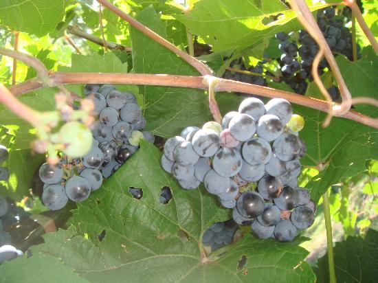 Wollersheim Winery & Distillery: Almost ready for picking!