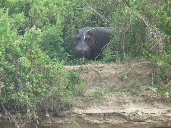 Selous Great Water Lodge: Hippo seen from the boat cruise