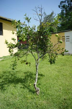 Jarabacoa Mountain Hostel: Tree in backyard