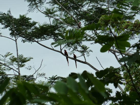 Playa Nicuesa Rainforest Lodge: Two scarlet maccaws