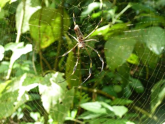 Playa Nicuesa Rainforest Lodge: Silk spider