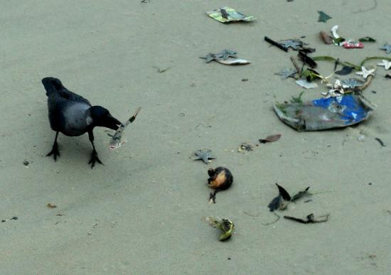 Cavelossim Beach: bird with fish, some trash