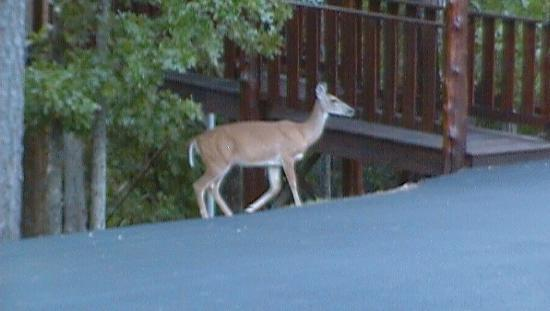 Oak Crest Cottages and Treehouses: Deer by our tree house