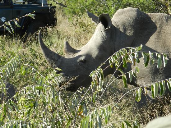 Simbavati River Lodge: White Rhino