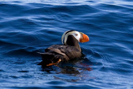 ‪‪Sitka Secrets‬: Tufted Puffin