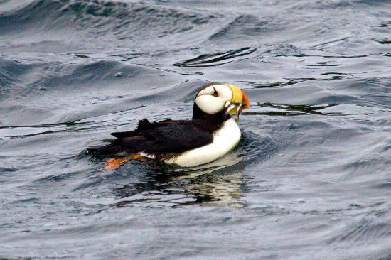 ‪‪Sitka Secrets‬: Horned Puffin