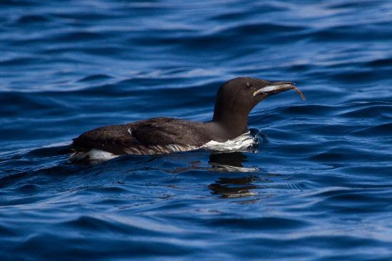 Sitka Secrets: Common Murre