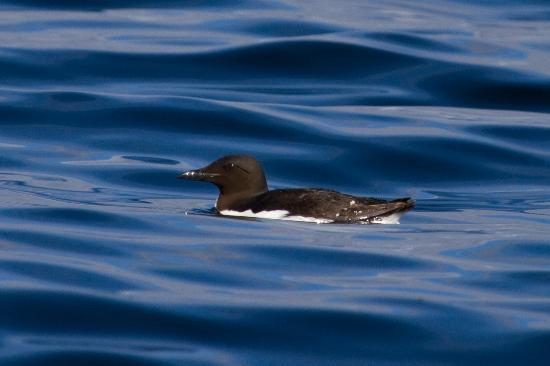 Sitka Secrets: Thick-billed Murre