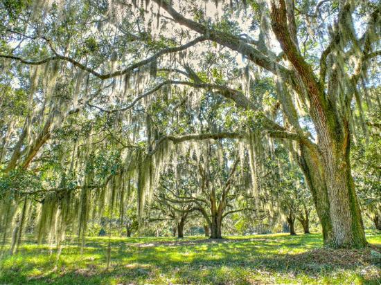 Hofwyl-Broadfield Plantation: Historic Live Oak Trees