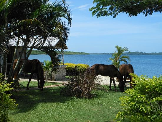 Rhodes Beach Resort Negril: More horses roaming