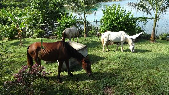Rhodes Beach Resort Negril: Horses roaming