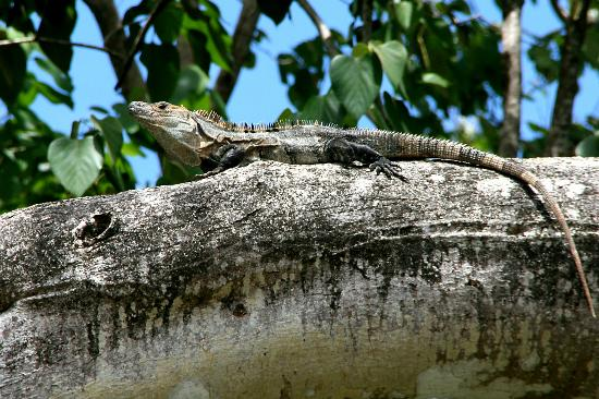 Playa Grande Park Hotel and Villas: Iguana that lives in the tree above the pool