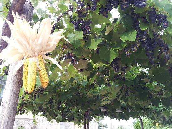Agriturismo alle Torricelle B&B: Il pergolato con mais e uva fragola