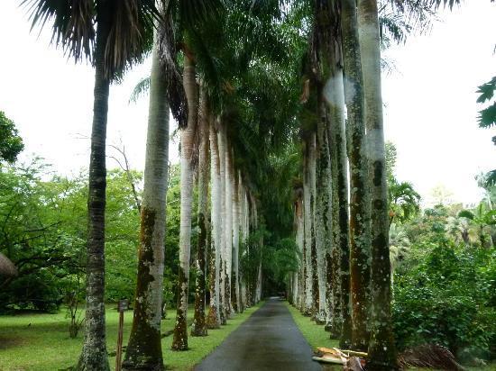 SSR Botanic Garden: Viale di palme