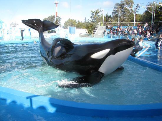 San Clemente del Tuyu, Arjantin: Orca del show Celebración