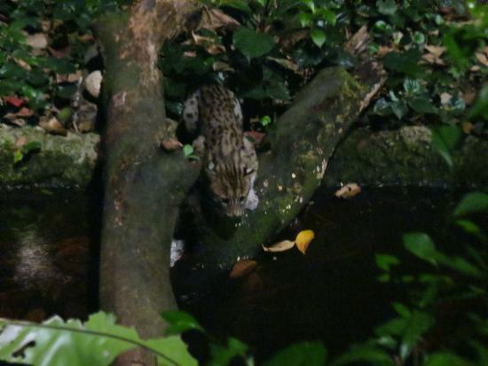 Fishing cat, Night Safari