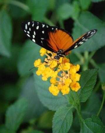 Le Tropique du Papillon: papillon3