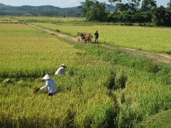 Phong Nha Farmstay cutting our own rice.