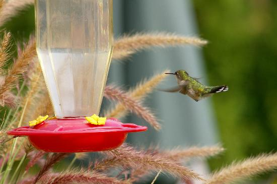 The Mountain Top Inn & Resort : Humming bird