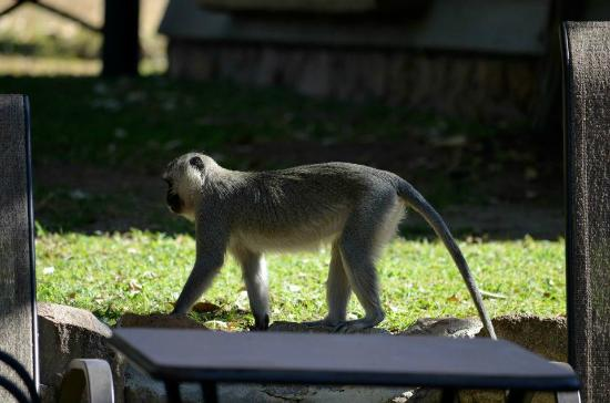 Umkumbe Safari Lodge: Vervet monkeys at the lodge