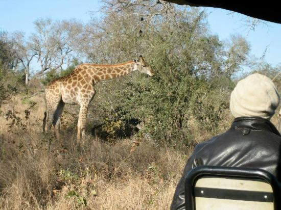 Umkumbe Safari Lodge: Coming very close to a giraffe in the Land Rover