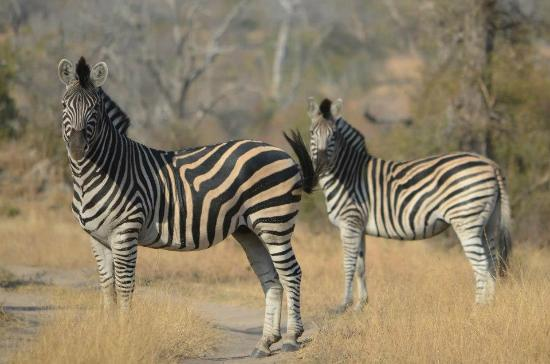 Umkumbe Safari Lodge: Zebras encountered on the bush walk