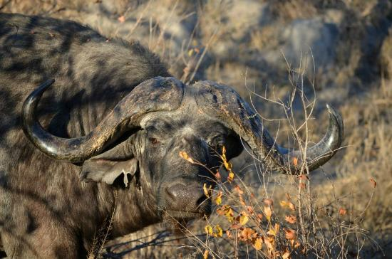 Umkumbe Safari Lodge: A cape buffalo