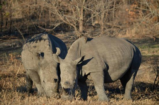 Umkumbe Safari Lodge: Beautiful rhinos!