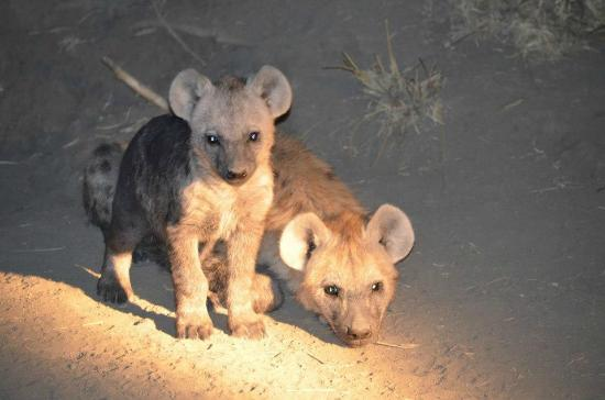 Umkumbe Safari Lodge: Hyena pups!