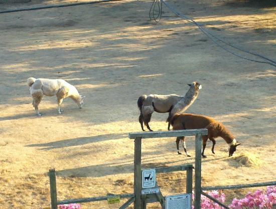 Glendeven Inn Mendocino: Glendeven's llamas!