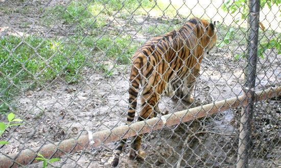 Broussard, Louisiane : Skinny Tiger