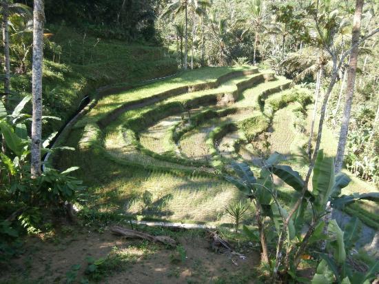 Boni Bali Restaurant: Rice fields!